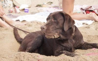 Een bruin nest met labrador pups