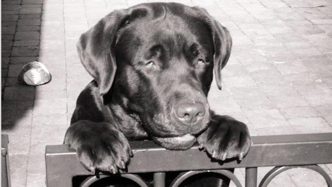 Zimyis Labradors heeft weer pups gekregen!